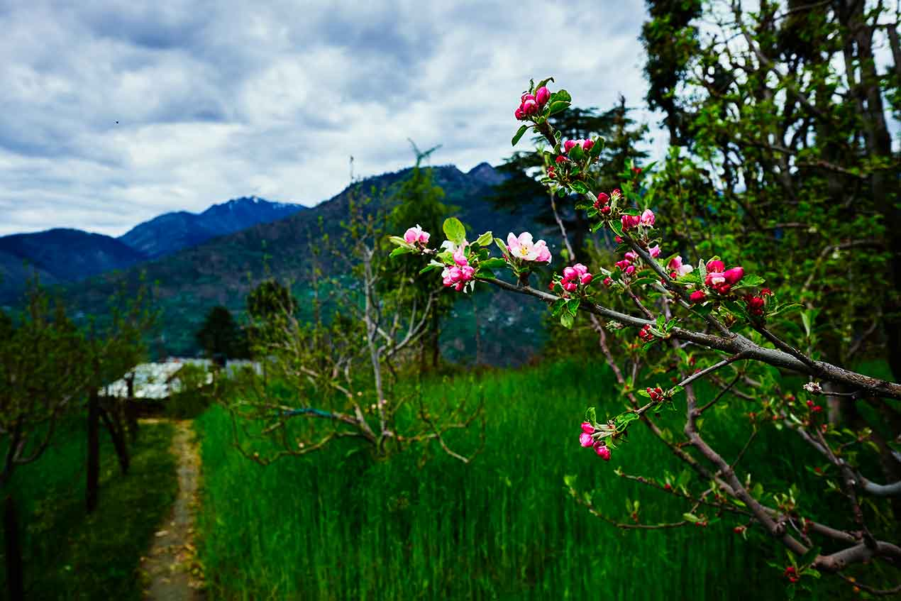 Orchards and blossoms at Great Himalayan National Park GHNP