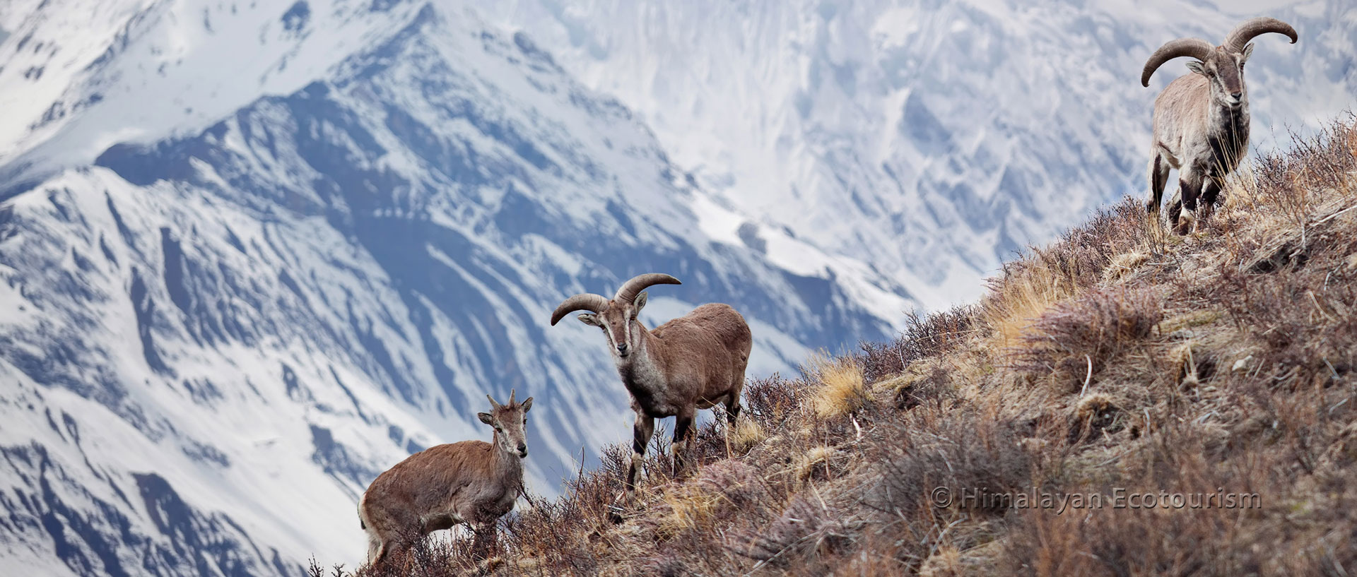 Blue sheeps are found abundantly in the GHNP