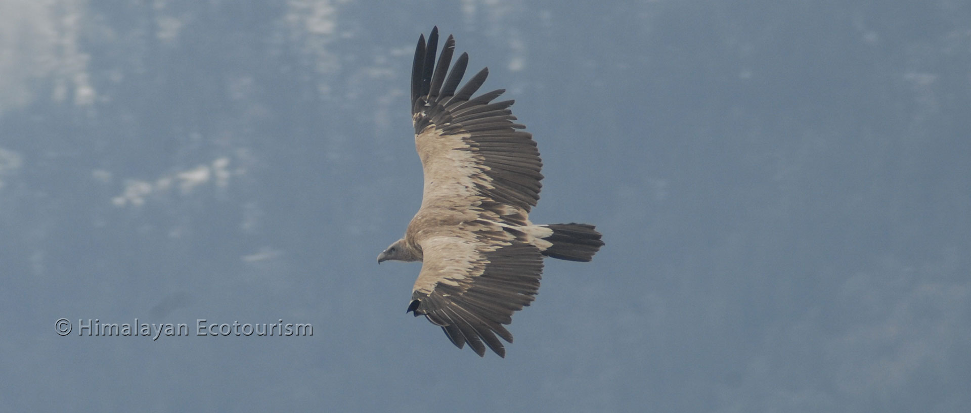 The Himalayan Griffon Vulture