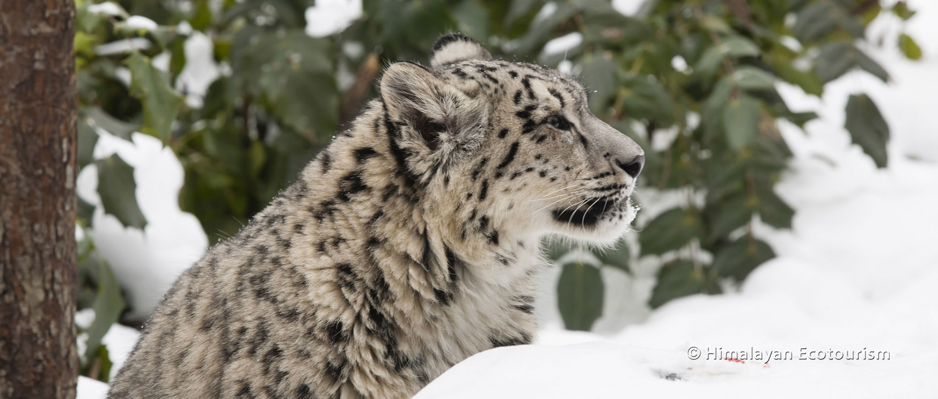 The legendary snow leopard